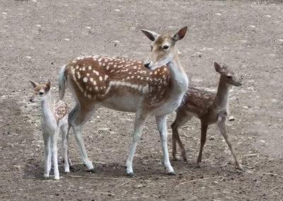 Parc Saint Léger - Nos bébés daims et leur maman