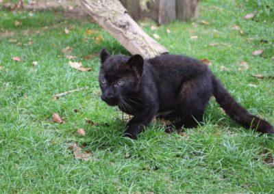Parc Saint Léger - Onia notre bébé panthère noire