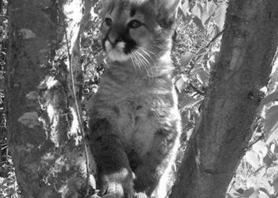 Parc Saint Léger - Notre bébé puma est très observateur